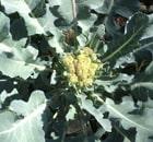 cavolo broccolo di bassano