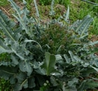 Cavolo Broccolo Fiolaro
