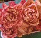 cicoria rosa mantovano-veronese