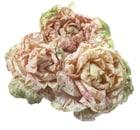cicoria variegata di lusia tardiva