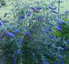 BUDDLEJA davidii nanho blue
