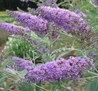 Buddleja davidii perfection