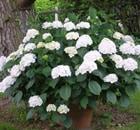 HYDRANGEA macrophylla Madame Emile Moulliere