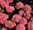 HYDRANGEA macrophylla King George V
