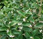 OSMANTHUS-aquifolium