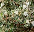 abelia variegata aurea