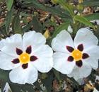 cistus maculata