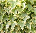 hedera japonica