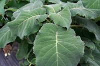 foglie hydrangea sargentiana