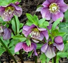 helleborus early purple
