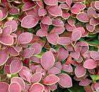 Berberis Rose Glow
