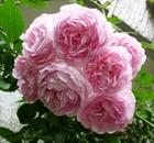 rosa jasmina