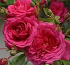 rosa laguna