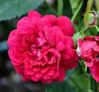 rosa lola