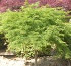 Acer Dissectum Verde Viridis