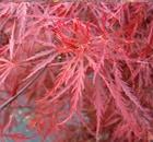 Acer Dissectum Stella Rossa