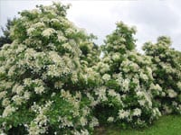 Hydrangea ortensia rampicante hydrangea ortensia - Ortensia rampicante petiolaris ...