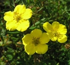 Potentilla Fruticosa Gold Finger