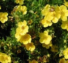 potentilla fruticosa goldstar