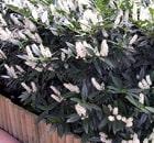 Prunus Laurocerasus Ottoluyken