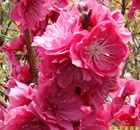 prunus persica melred