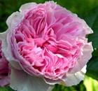 rosa gartentraumen