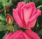rosa lady like
