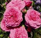 rosa baroness