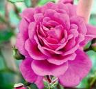 rosa melina