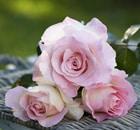 rosa violina