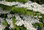 Viburnum Plicatum Lanarth