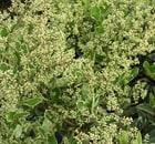 ligustrum japonicum silver star
