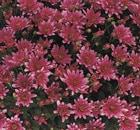 Crisantemi Tutti i Santi Melissa Rose