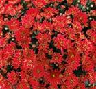 Crisantemi Tutti i Santi Melissa Rouge