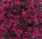 Crisantemi Tutti i Santi Melissa Violet
