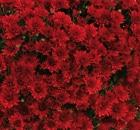 Crisantemi Tutti i Santi Monza Rouge