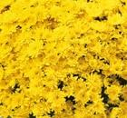 Crisantemi Tutti i Santi Songa Jaune