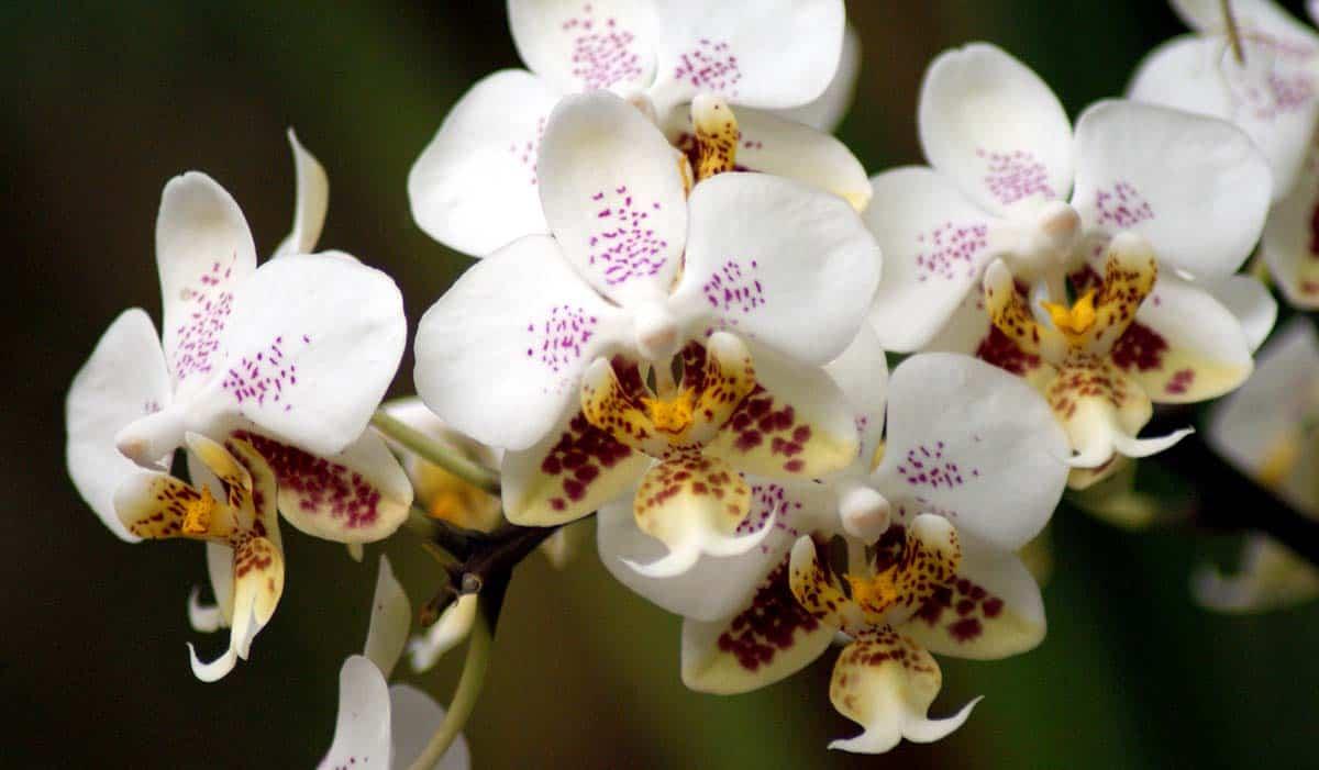 Giardinaggio Giardino Ortensie : Orchidea phalaenopsis