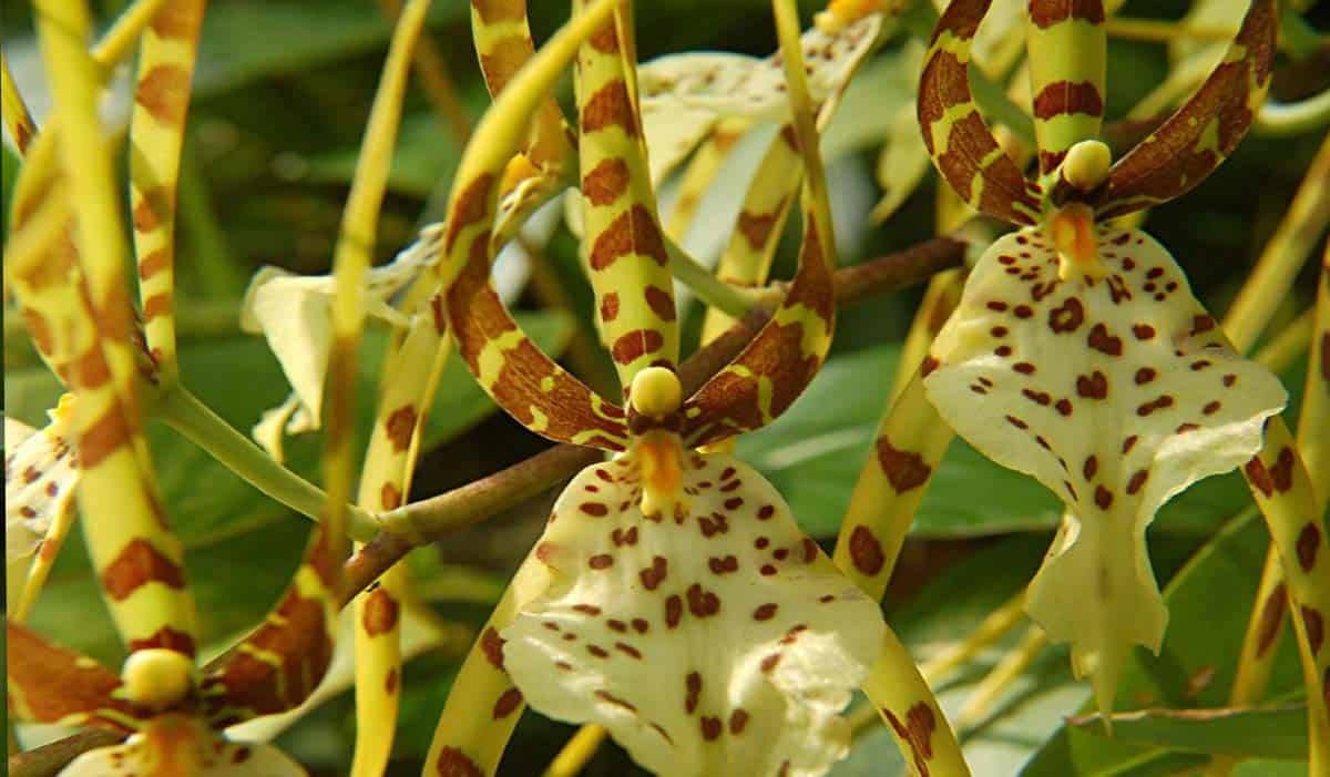 Giardino D Inverno Toscana : Orchidea brassia toscana