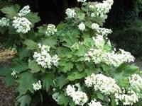 Hydrangea Quercilofia Snow Flake