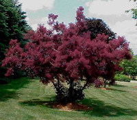 Cotinus coggygria ´Royal Purple´