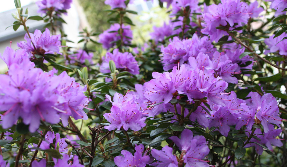 Rhododendron02