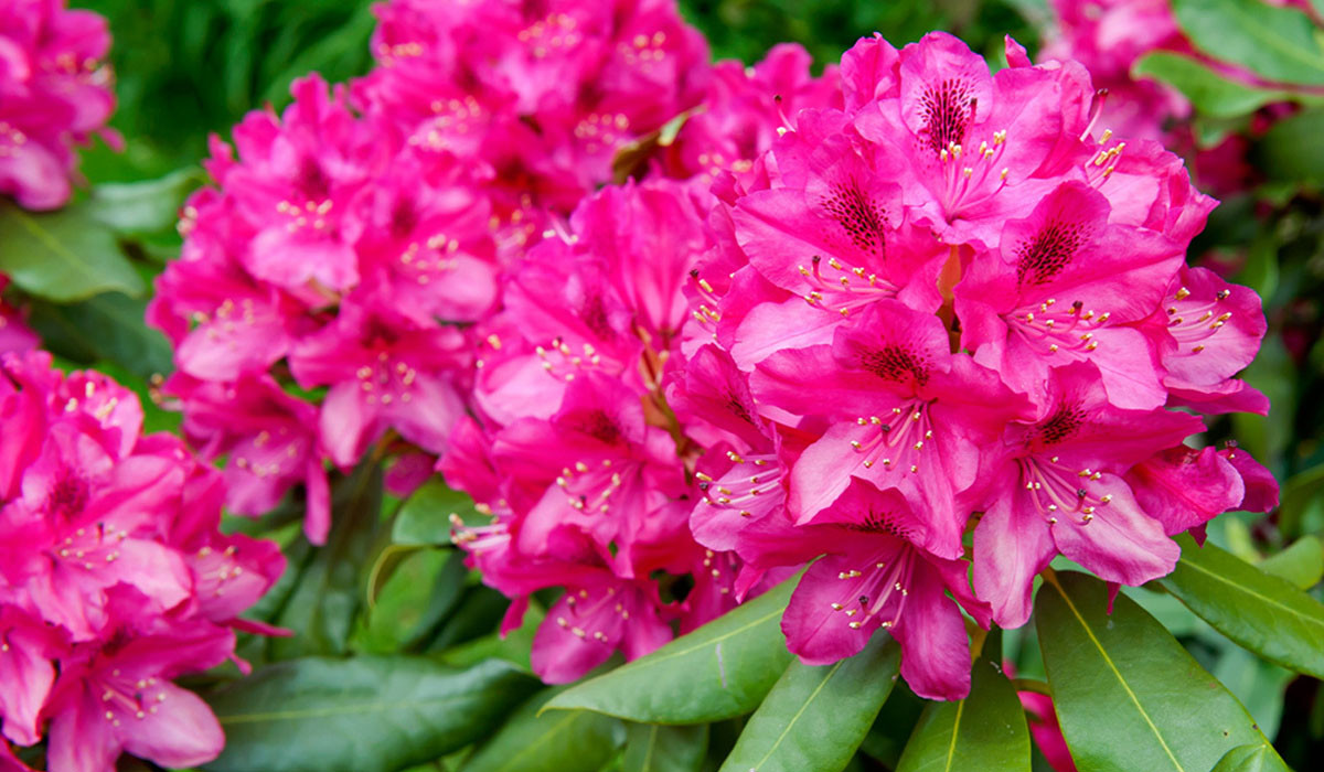 Rhododendron03