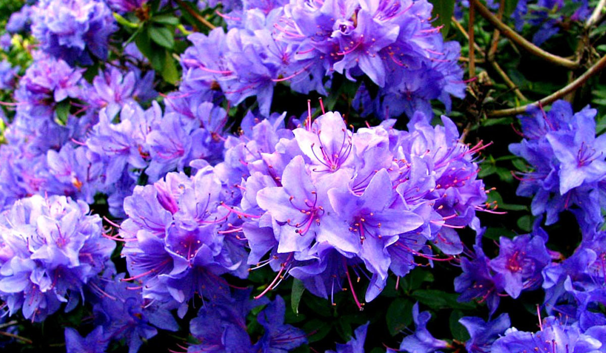 Rhododendron06