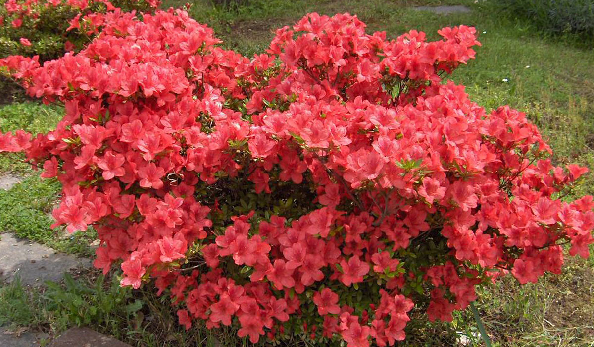 Rhododendron08