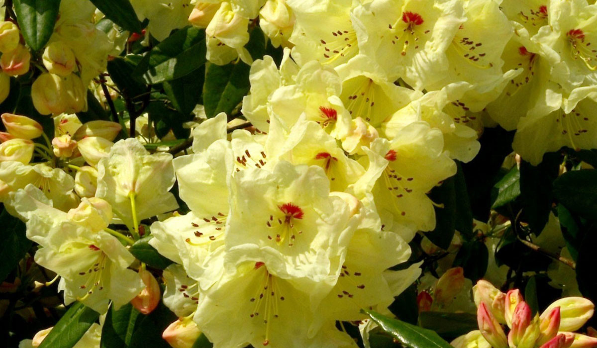 Rhododendron09