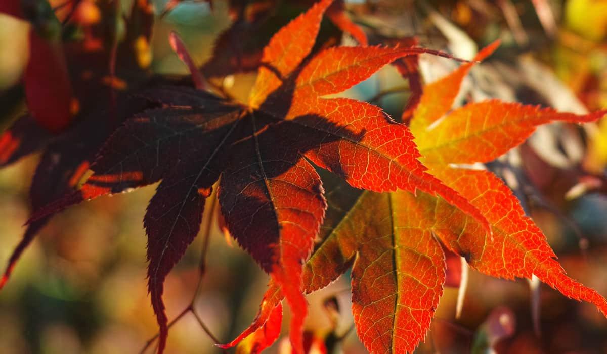 Vivaio Acero Rosso : Acero colore foglie archivio compagnia del giardinaggio