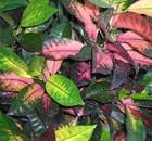 croton variegatum
