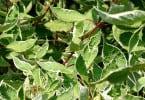 Cornus Alba Argenteo Marginata