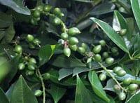 Prunus_laurocerasus_Caucasica-bacche